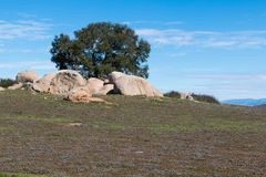 Boulders Surround a Singe Tree at Ramona Grasslands Preserve Royalty Free Stock Images