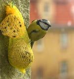 Boule de alimentation de suif de Chickadee Photo stock