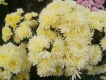 Boule de chrysanthème Image stock