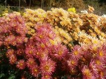 Boule de chrysanthème Photo libre de droits