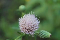 Boule de fleur sauvage photographie stock libre de droits