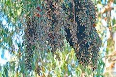 Boule de groupe de papillon de monarque Images libres de droits