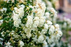 Boule de neige de roseum d'opulus de Viburnum Images stock