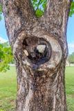Boule de sève d'arbre de sycomore photographie stock