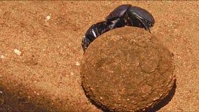 Boule des scarabées de Dung clips vidéos
