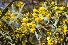 Boule jaune des fleurs de mimosa Jour de la femme s, le 8 mars Photographie stock
