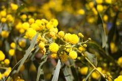 Boule jaune des fleurs de mimosa Jour de la femme s, le 8 mars Photographie stock libre de droits