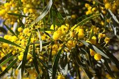 Boule jaune des fleurs de mimosa Jour de la femme s, le 8 mars Image stock