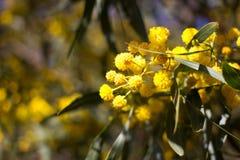 Boule jaune des fleurs de mimosa Jour de la femme s, le 8 mars Photos libres de droits