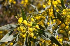 Boule jaune des fleurs de mimosa Jour de la femme s, le 8 mars Image libre de droits