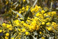Boule jaune des fleurs de mimosa Jour de la femme s, le 8 mars Photo stock