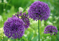 Boule lilas de fleur Photographie stock libre de droits