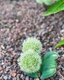 Boule mignonne de fleur verte et blanche photo libre de droits