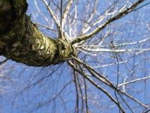 Bouleau-arbre Images stock