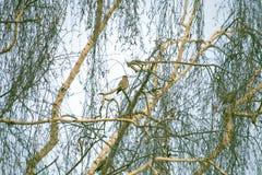 Bouleau avec des oiseaux Photo stock