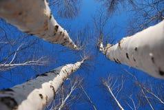 Bouleau blanc Image libre de droits