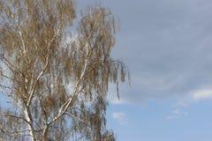 Bouleau blanc avec le feuillage de ressort contre le ciel bleu Flora du climat tempéré photo libre de droits