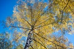 Bouleau blanc d'automne pendant le début de la matinée photographie stock