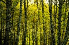 Bouleau couvert de feuillage vert Images stock