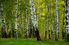 Bouleau couvert de feuillage vert Photos libres de droits
