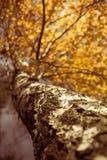 Bouleau d'automne Photos stock