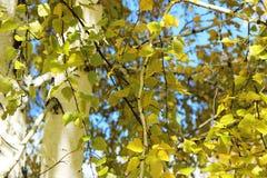 Bouleau d'automne Photographie stock libre de droits
