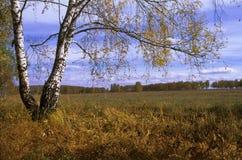 Bouleau d'automne photo libre de droits