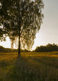 Bouleau dans le coucher du soleil Image libre de droits