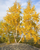 Bouleau de deux automnes contre le ciel Photo stock