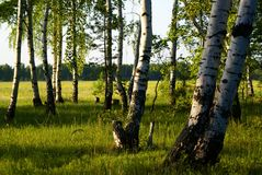 Bouleau de forêt Photographie stock libre de droits