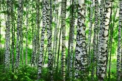 Bouleau de forêt Photos stock