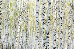 Bouleau de forêt Photo stock