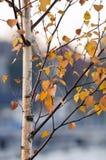 Bouleau en automne photo stock