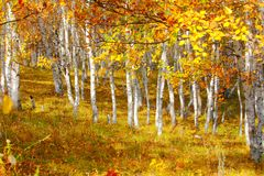 Bouleau en automne Photos libres de droits