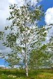 Bouleau en parc de Nature-paysage de Zaryadye moscou Image stock