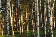 Bouleau et pins Photos libres de droits