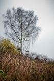 Bouleau isolé avec l'herbe sèche Image libre de droits