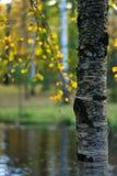 Bouleau jaune Photographie stock