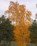 Bouleau parmi des chênes en automne photos libres de droits