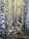 Bouleau plantant en automne photo stock