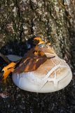 Bouleau Polypore de betulinus de Piptoporus et une feuille tombée dans des couleurs d'automne sur elle Images libres de droits