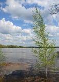 Bouleau s'élevant dans l'eau de la rivière en crue pendant les hautes eaux de source Photo stock