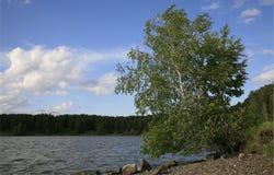 Bouleau sur le côté du lac Photographie stock
