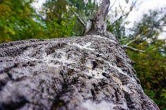 Bouleau tombé dans la forêt photos stock