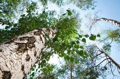 Bouleau vert dans la forêt sur le fond de ciel Photos stock
