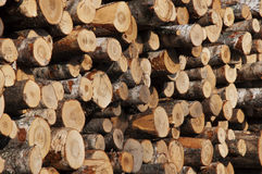 Bouleaux abattus d'arbres Photographie stock