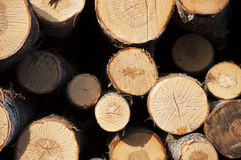 Bouleaux abattus d'arbres Image stock