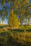 Bouleaux avec le feuillage bariolé d'automne Photos libres de droits