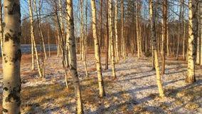 Bouleaux dans la forêt avec de la neige au sol banque de vidéos