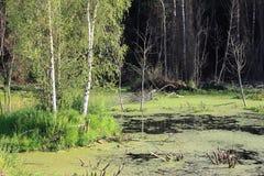 Bouleaux dans le marais Image libre de droits